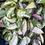Thumbnail: Hoya carnosa Rubra 'Krimson Princess'