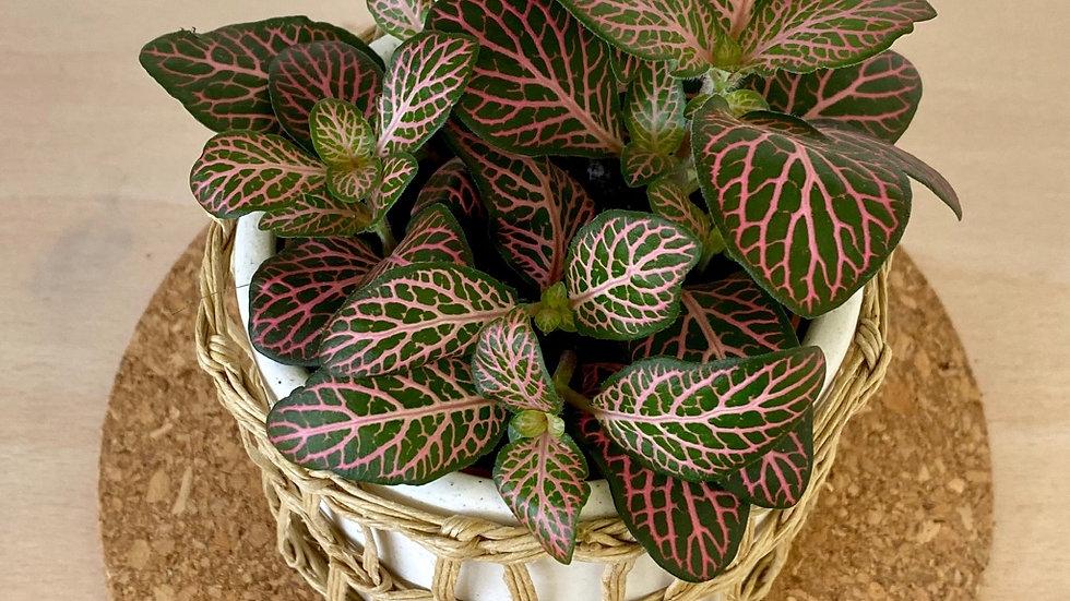 Fittonia - single plant