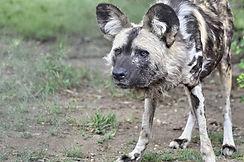 Wild Dog.jpg