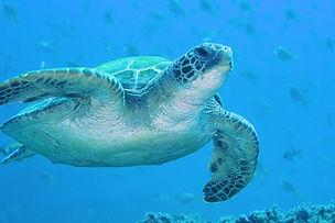 Turtle - Cook Island - 9 Mar 2019.jpg