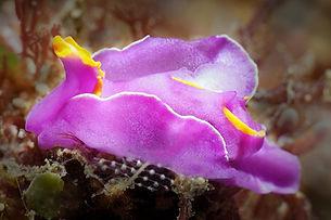 Nudibranch - Sagaminopteron ornatum - Co