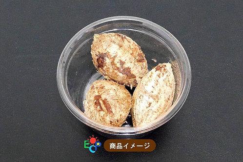 【Island Crystal】南国便り:モモタマナ