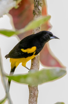 Black Cowled Oriole