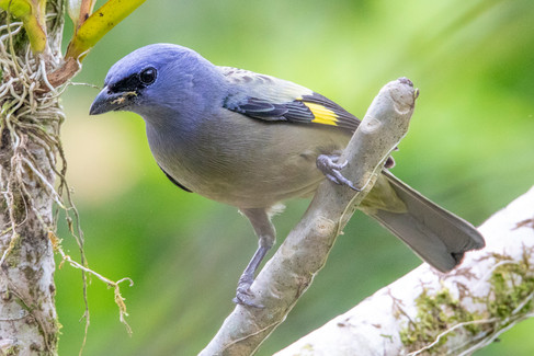 Yellow Winged Tanager