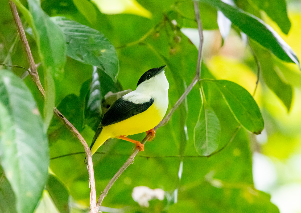 White Collared Manakin.jpg