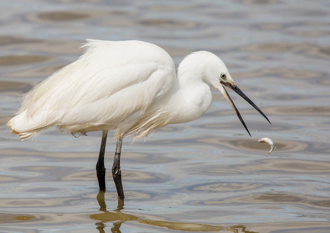Egret with Lunch