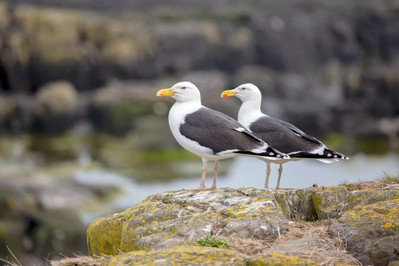 Greater Black Back Gulls.jpg