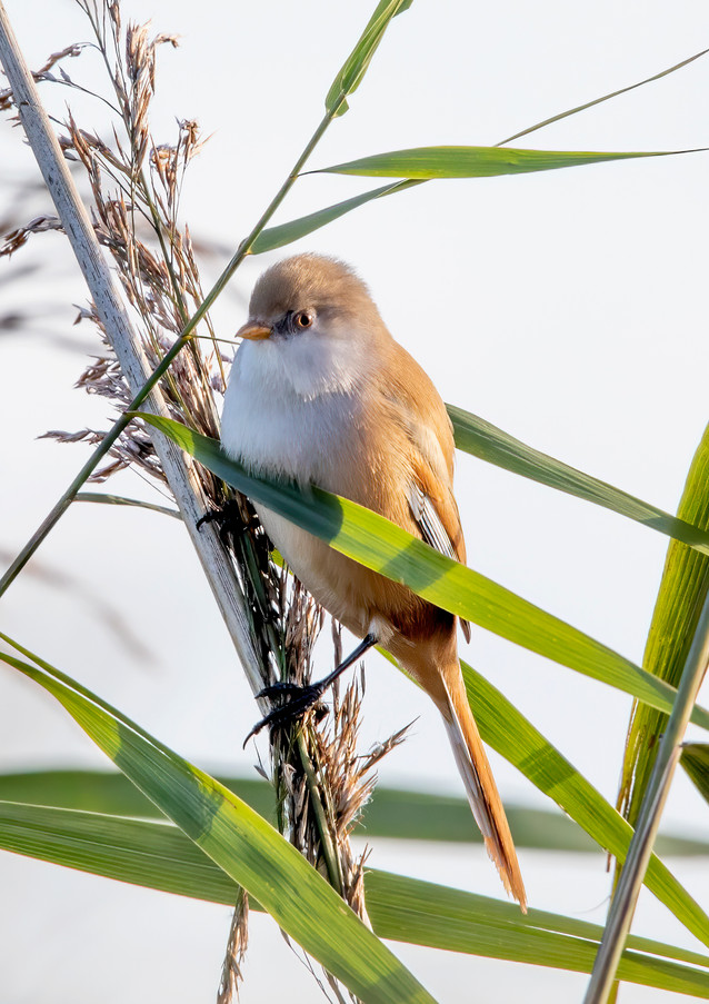 Bearded Tit.jpg