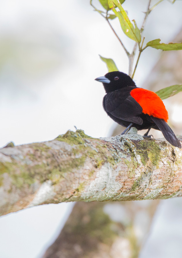 Passerini's Tanager Male