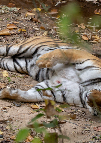 Wounded Tigress.jpg