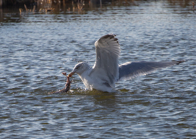 Gull with Catch