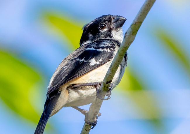 White Collared Seedeater.jpg