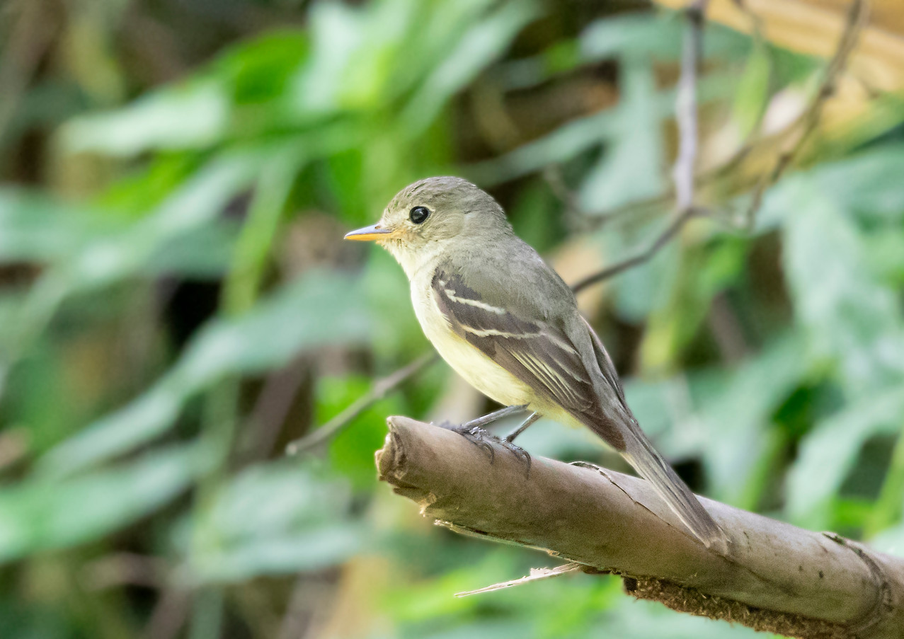 Yellow Bellied Flycatcher (2).jpg