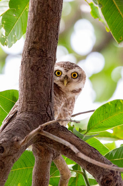 Spotted Owlet (3).jpg