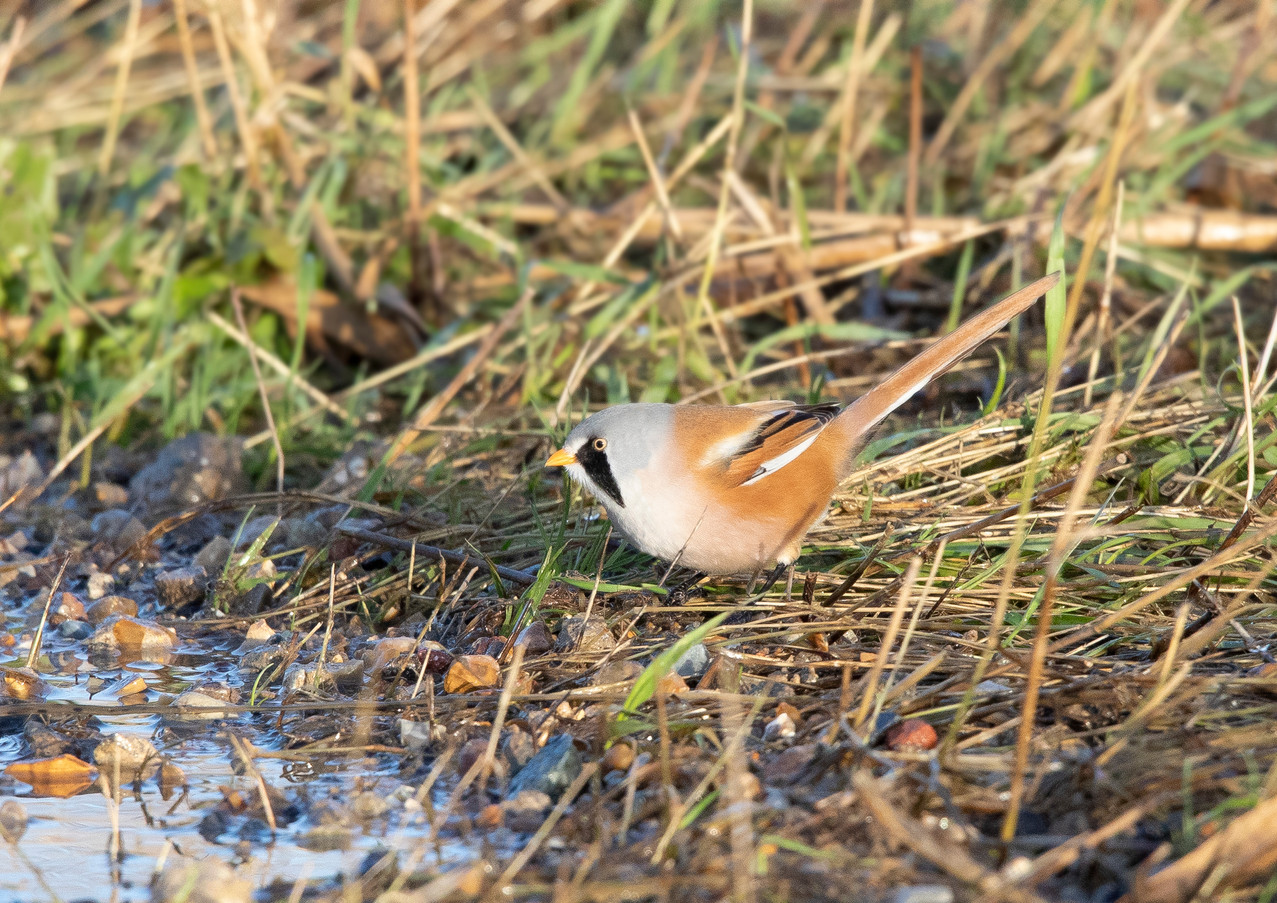 Bearded Tit 2.jpg