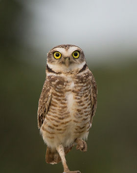 Burrowing Owl (1).jpg