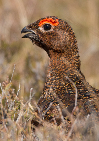 Male Red Grouse 3.jpg