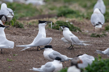 Sandwich Terns 2.jpg