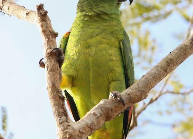 Turquoise Fronted Parrot