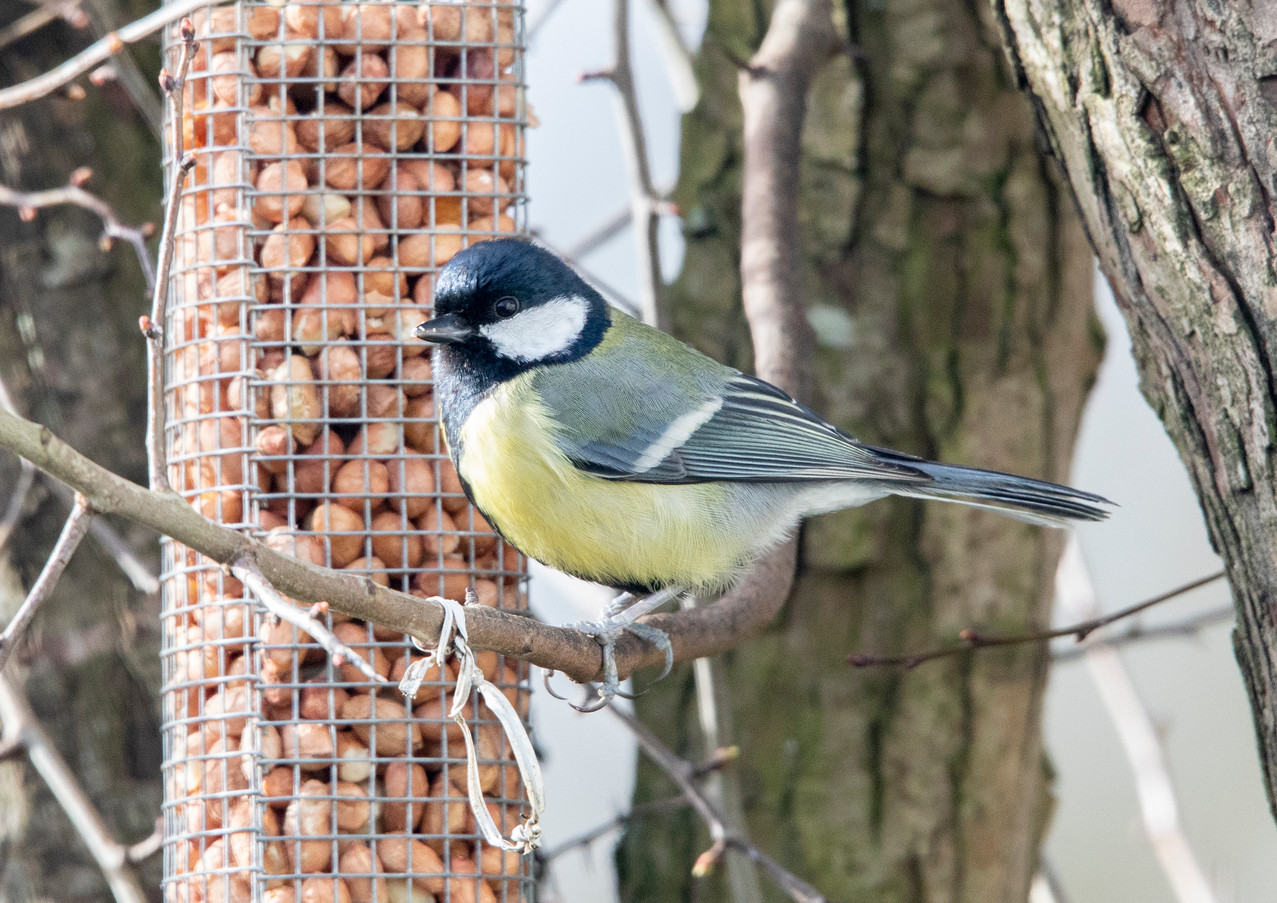 Great Tit.jpg