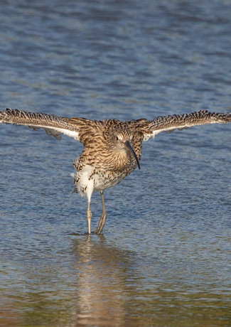 Curlew Take Off.jpg