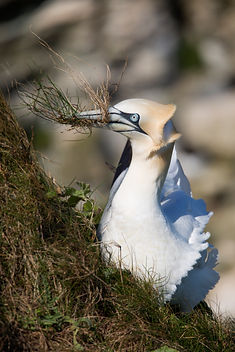 Gannet with Nesting Grass.jpg