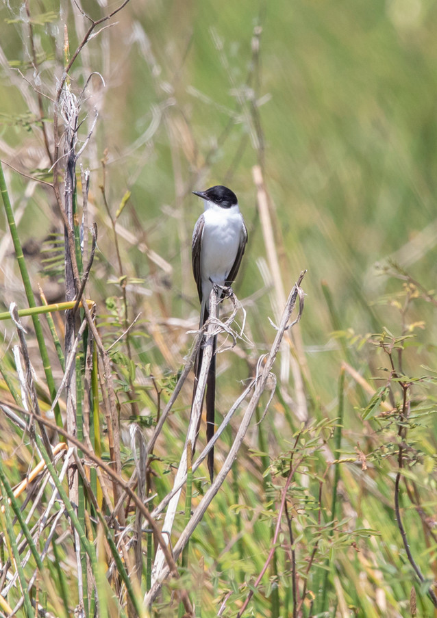 Fork Tailed Flycatcher.jpg