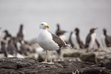 Greater Black Back Gull.jpg