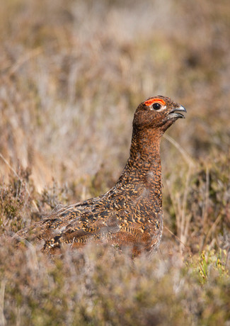 Male Red Grouse 4.jpg