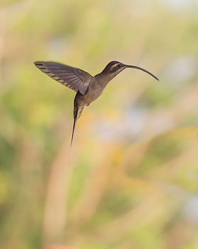 Long Billed Hermit.jpg