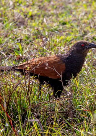 Southern Coucal.jpg