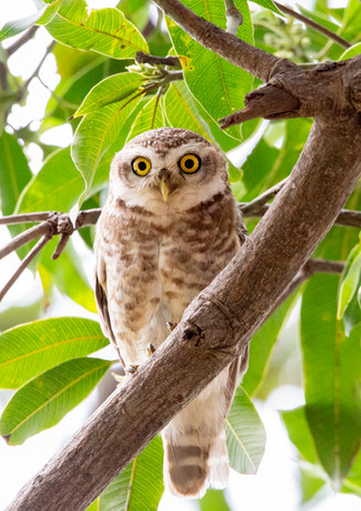 Spotted Owlet (2).jpg