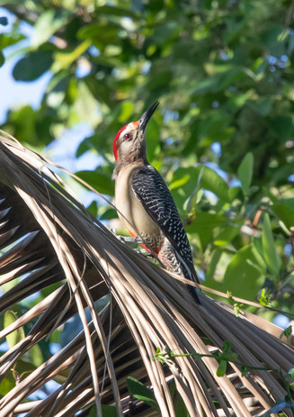 Gold Fronted Woodpecker 2.jpg