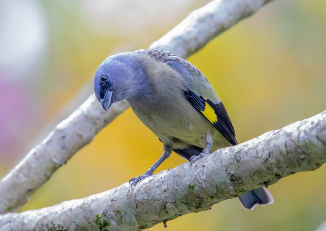 Yellow Winged Tanager.jpg