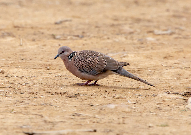 Spotted Dove.jpg