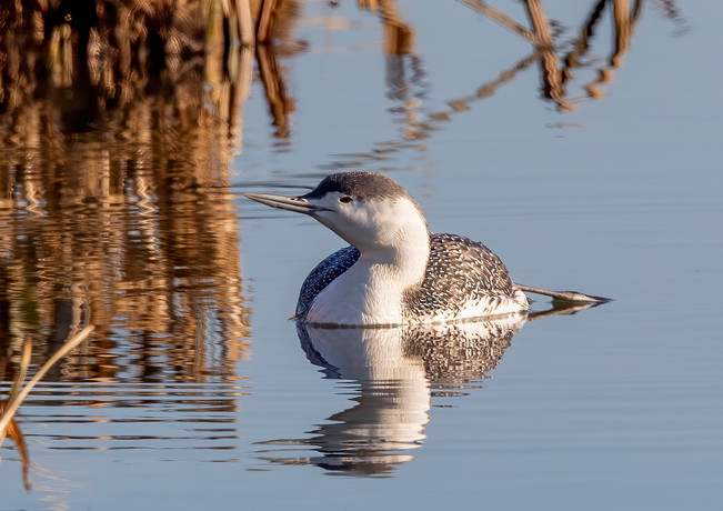 Red Throated Diver 3.jpg