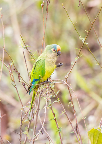 Peach Fronted Parakeet