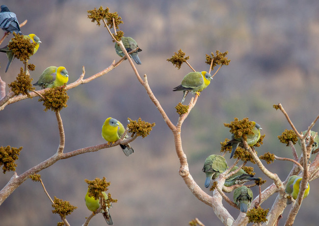 Yellow Footed Green Pigeons.jpg