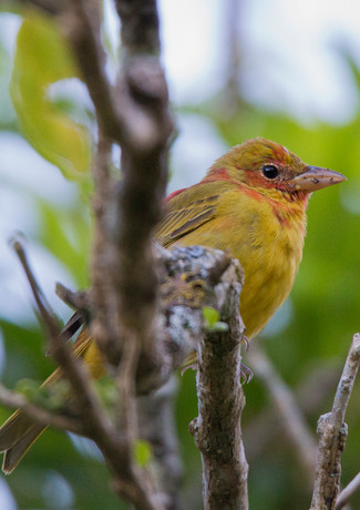 Western Tanager Juvenile Male