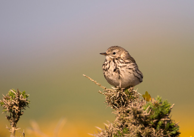 Tree Pipit on Goarse