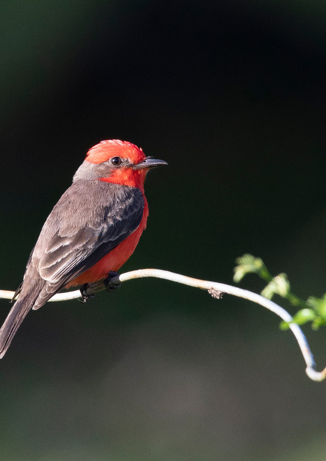 Vermillion Flycatcher 4.jpg