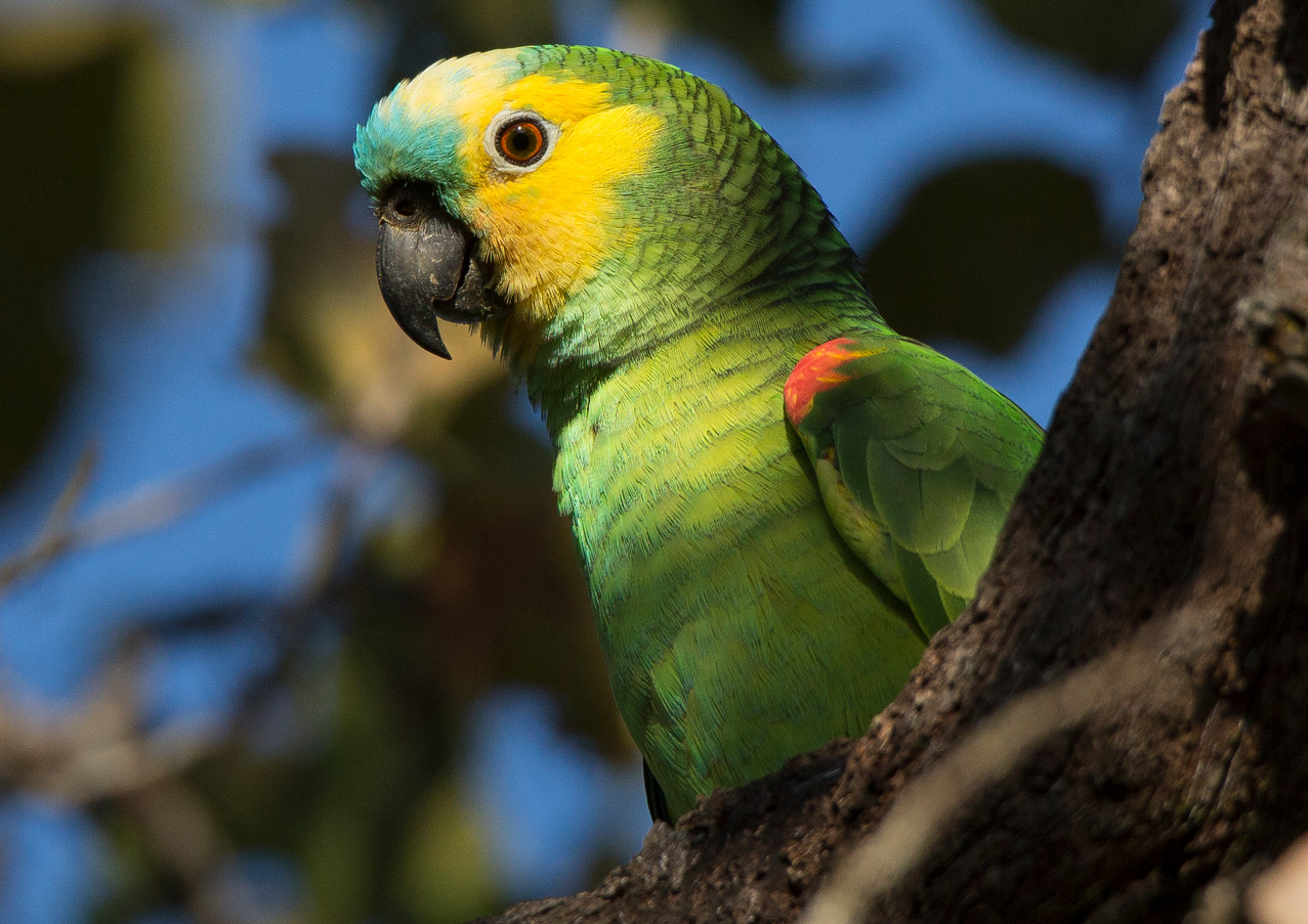 Blue Fronted Parrot