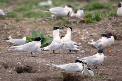 Sandwich Terns.jpg
