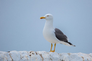 Greater Black Back Gull 2.jpg