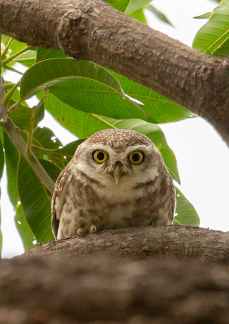 Spotted Owlet (4).jpg