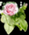 rose pink.png