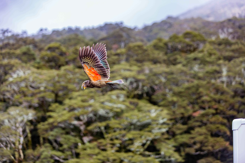 Kea - New Zealand