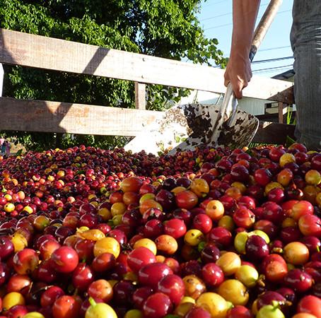 La fermentazione nella lavorazione del caffè.