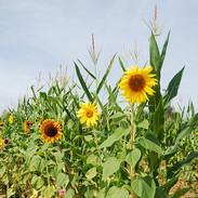 sunflower-1011569_640.jpg