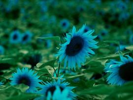 bluesunflower.jpg